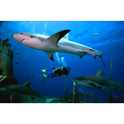 Aware Shark Conservation Diver