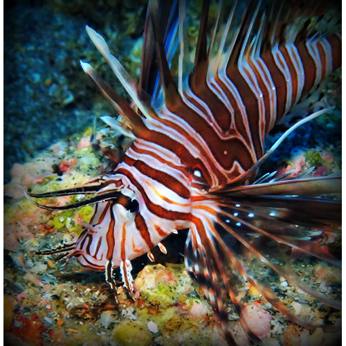 Lionfish Removal Specialist Online
